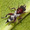 tiny wasp - Hockeria - female