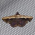 Pale-edged Selenisa - Hodges #8658 - Selenisa sueroides