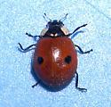Two-spotted Lady Beetle - Adalia bipunctata