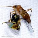 Bug v. Syrphid - Phytocoris
