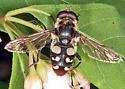 Syrphid Fly - Sericomyia lata