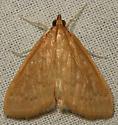 European corn borer - Ostrinia nubilalis - female
