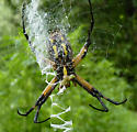 Black & Yellow Garden Spider (Argiope aurantia) ? - Argiope aurantia - female