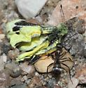 unknown species of ant carrying off a dead sulfur butterfly - Formica subsericea