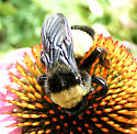 Queen Bumblebee - Bombus pensylvanicus - female