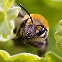 Unknown Bee from California - Andrena - female