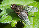 Dark fly with gray, spotted abdomen - male