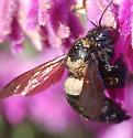 Xylocopa sonorina - female