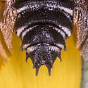 Male Cuckoo Leafcutter Bee - Coelioxys sayi - male