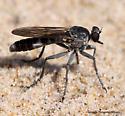 Robberfly - Stichopogon trifasciatus