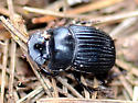 Small Black Dung Beetle - Copris minutus