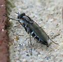 black and grey Stiletto Fly - Ozodiceromyia