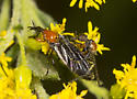 March fly in possible Rage weed?  - Dilophus - male - female
