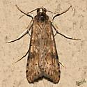 Lucerne Moth - Hodges #5256 - Nomophila nearctica