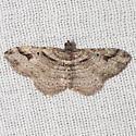 Bent-line Carpet Moth - Hodges #7416 - Costaconvexa centrostrigaria - male