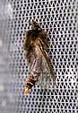 MothClearwings09132018_GH_ - Thyridopteryx ephemeraeformis - male