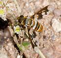 Diminutive Exoprosopa? - Exoprosopa fascipennis