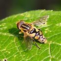 bog fly - Parhelophilus