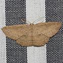 Myrtaria Wave Moth - Hodges #7137 - Cyclophora myrtaria