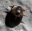 Beetle 1 - Attagenus brunneus - male