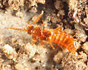 Rove Beetle living with termites - Philotermes pilosus
