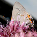 which Hairstreak ? - Strymon melinus