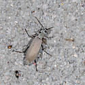 Blister Beetle Epicauta species