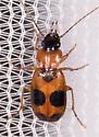 Beetle for ID - Badister neopulchellus