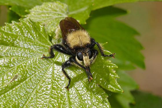 Bee-mimic Robber Fly - Laphria sackeni