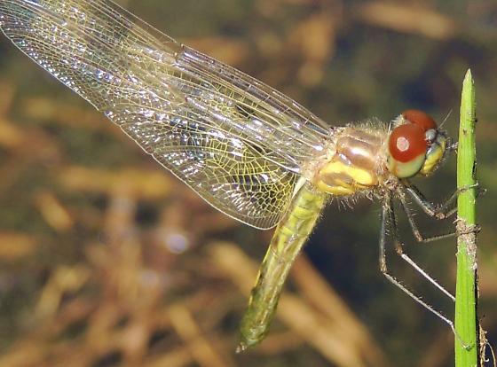 Newly emerged Dragonfly sp.? - Celithemis fasciata - female