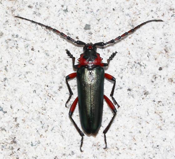 - - Stenaspis verticalis - female