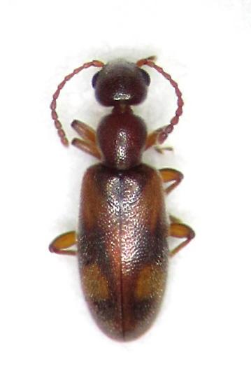 Anthicus cervinus - male