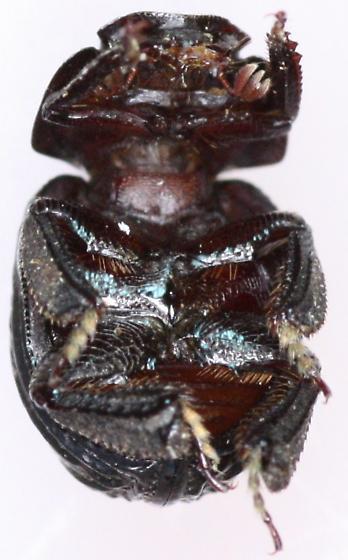 Hybosoridae - Germarostes globosus