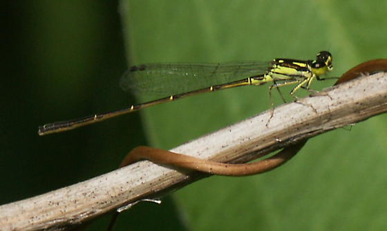 Fragile Forktail, yellow form - Ischnura posita - male