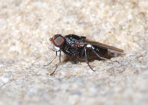 Silver-lipped Fly - Hemeromyia - male