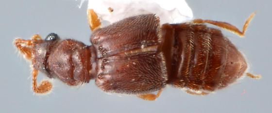 Pselaphid 1 - Thesiastes fossulatus - female