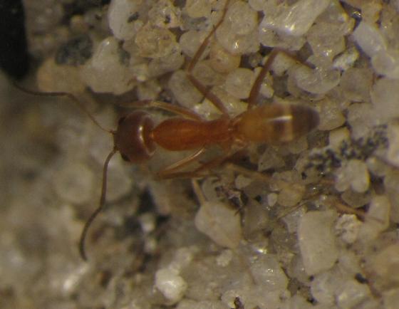 Dorymyrmex sp.? - Dorymyrmex bureni - female