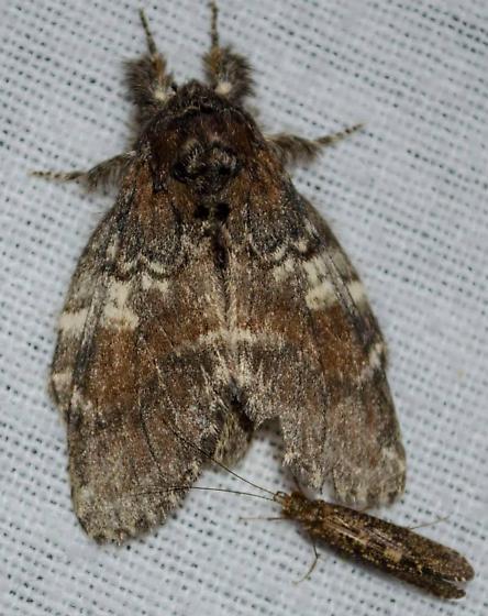 Tussock moth? - Peridea angulosa