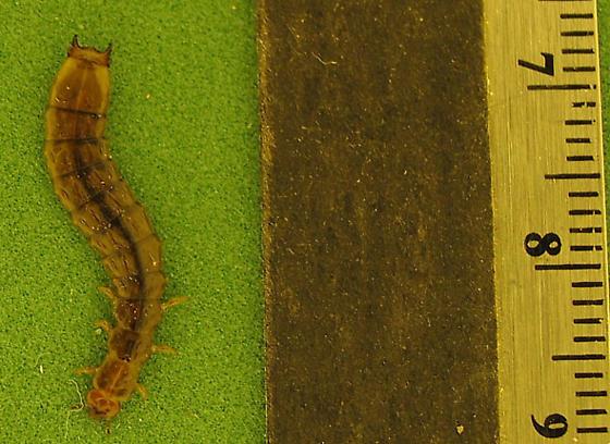 Boros unicolor larva, fam. Boridae