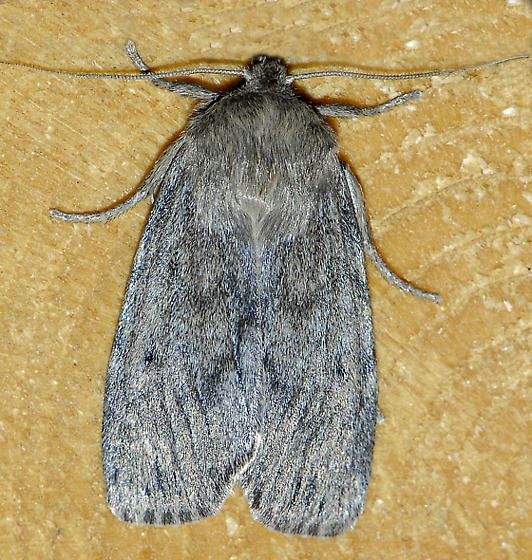 Mystery Moth-3 - Ufeus satyricus