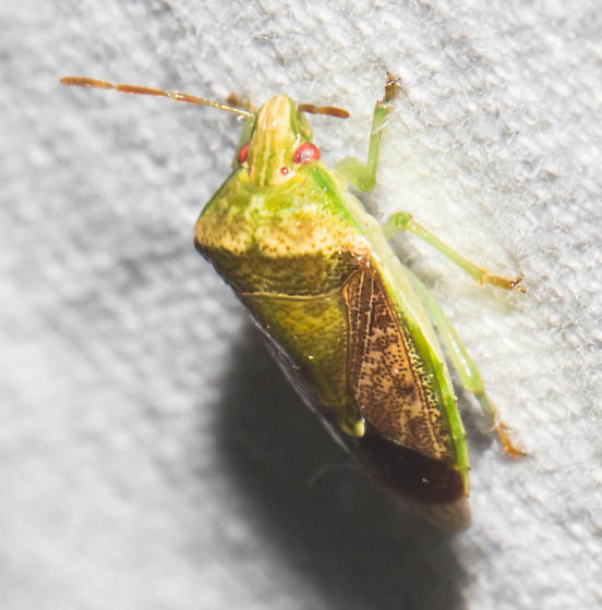 Green and brown stink bug - Banasa calva