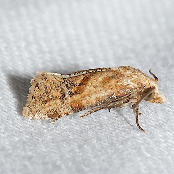 Moth unknown - Platphalonidia magdalenae