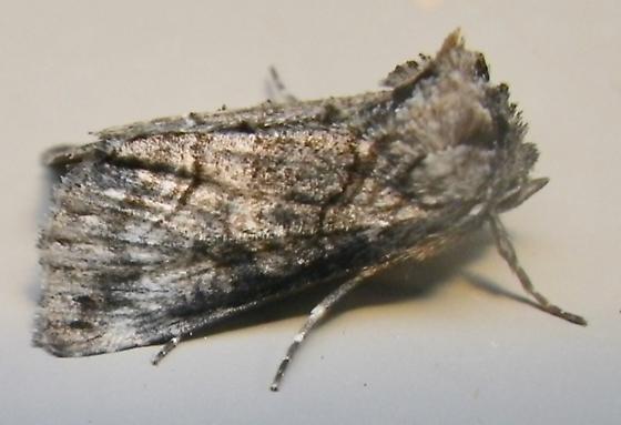 Moth D 11.5.18 - Abrostola parvula