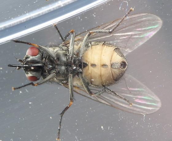 Stable Fly? - Stomoxys calcitrans