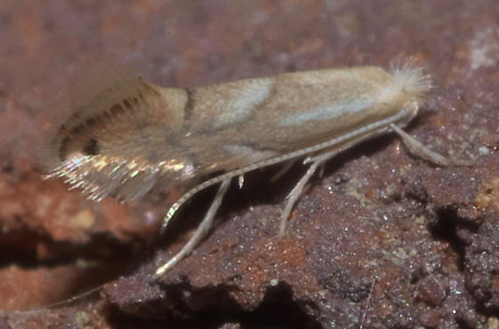 Very small, tan moth - Phyllonorycter