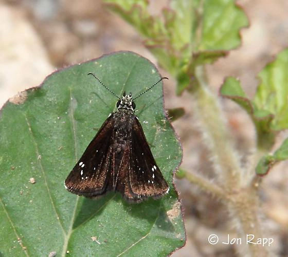 Skipper - Common Sootywing  - Pholisora catullus