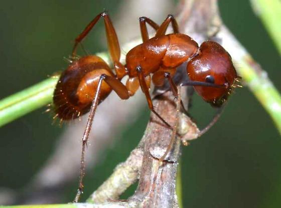 Ant - Camponotus