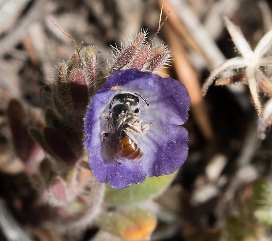 Conanthalictus macrops - female