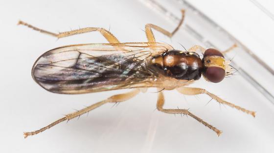 Fly - Cordilura munda - female