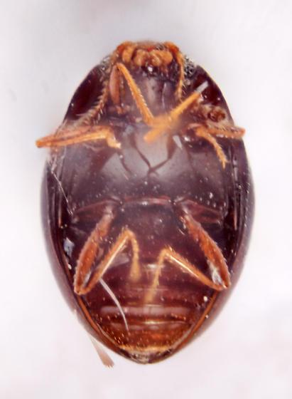 Sonora2 J39 - Ephistemus globulus